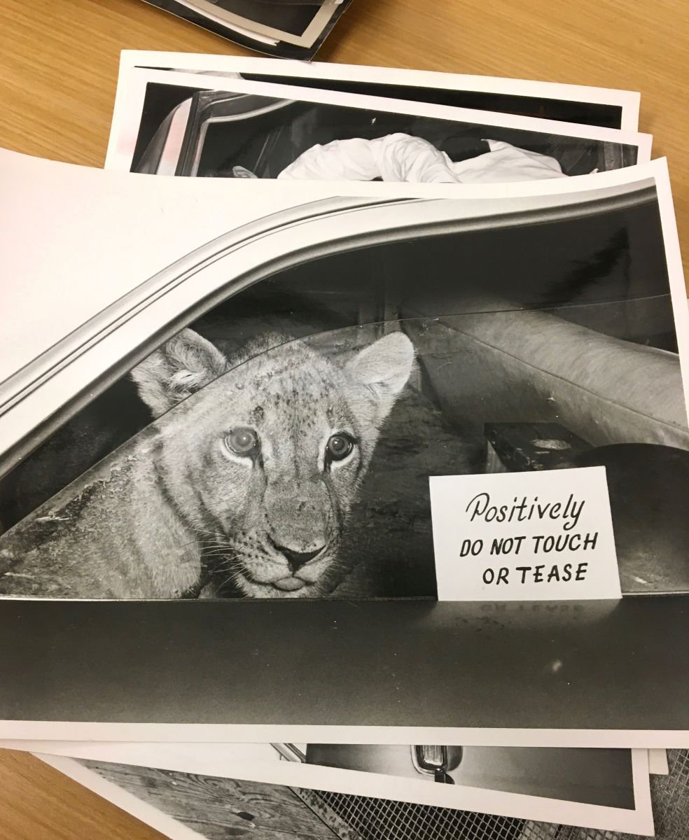 """Black-and-white photograph of a juvenile lion sitting in the backseat of an automobile. The lion looks out the window that is rolled down slightly. A small sign on the window reads: """"Positively Do Not Touch Or Tease""""."""