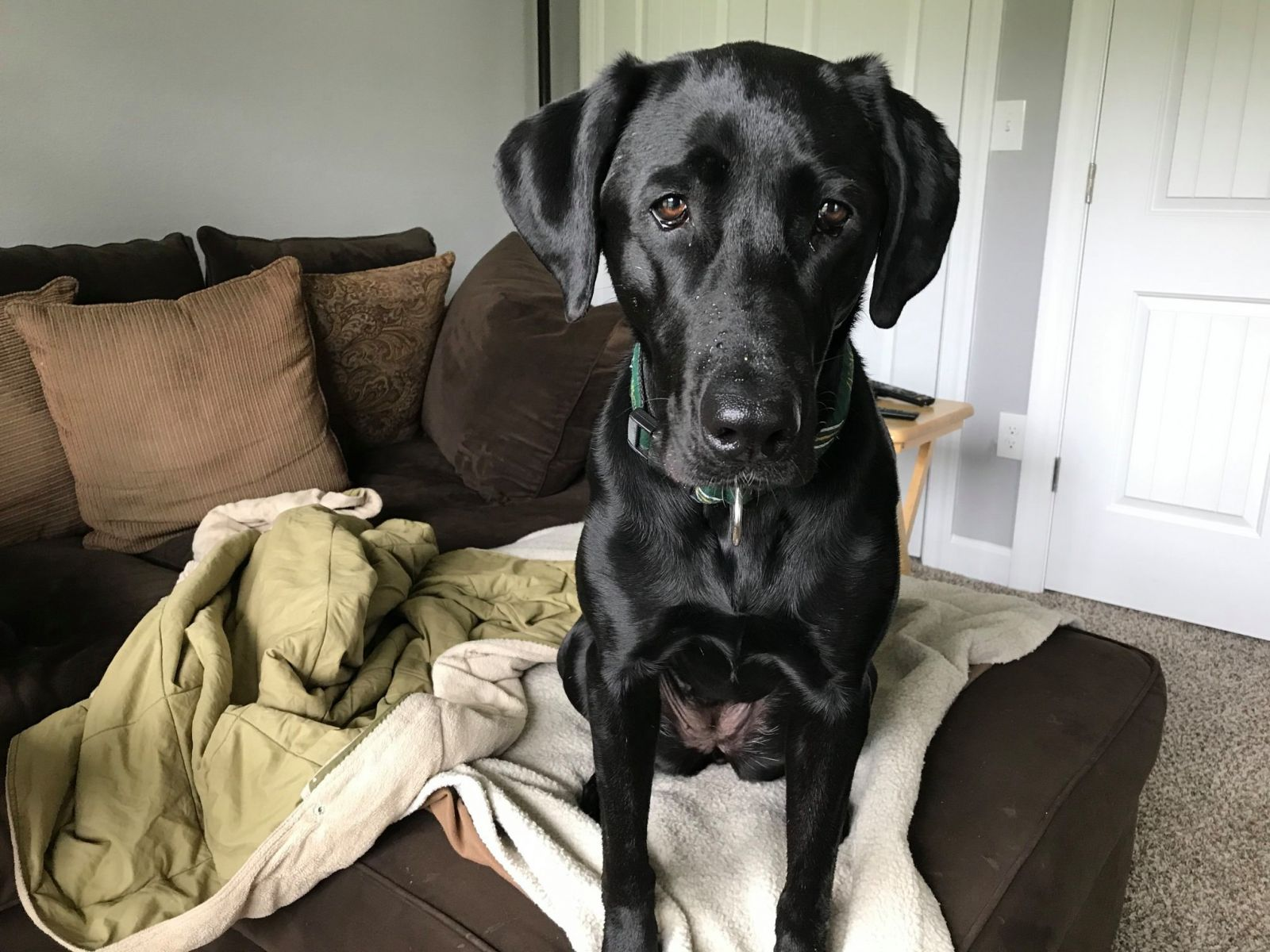 Black lab staring into the camera wanting to play